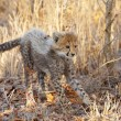 Stock Photo: Cheetah (Acinonyx jubatus) cub