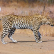 Stock Photo: Leopard walking on road
