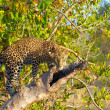 Leopard standing on the tree — Stock Photo