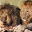 Two Lions (panthera leo) in savannah — Stock Photo