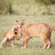 Stock Photo: Lion cub (pantherleo) close-up