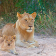 Stock Photo: Lion cub (pantherleo) in pride