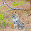 Foto de Stock  : Leopard resting in savannah