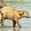 Stock Photo: Buffalo (Syncerus caffer) calf with his mother