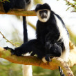 Black-and-white colobus monkeys — Stock Photo