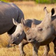 Stock Photo: Large white rhinoceros