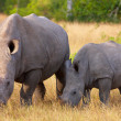 Stock Photo: Large white rhinoceros with calf