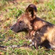 Stock Photo: AfricWild Dog (Lycaon pictus)