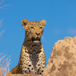 Leopard resting on the rock — Stock Photo