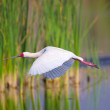 Stock Photo: AfricSpoonbill (Platalealba)