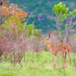 Stock Photo: Single Reedbuck (Reduncarundinum)