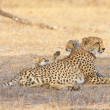 Cheetah (Acinonyx jubatus) cubs — Stock Photo