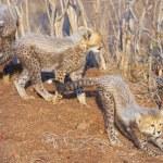Cheetah (Acinonyx jubatus) cubs — Stock Photo #6943005
