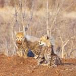 Cheetah (Acinonyx jubatus) cubs — Stock Photo #6943008