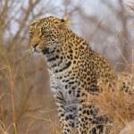 léopard assis dans la savane — Photo