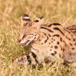 Stock Photo: AfricServal (Leptailurus serval)