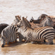 Herd of zebras (African Equids) and Blue Wildebeest (Connochaete — Foto de Stock   #6948519