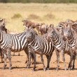 Herd of zebras (African Equids) and Blue Wildebeest (Connochaete — Foto de Stock   #6948526