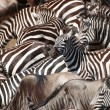 Herd of zebras (African Equids) and Blue Wildebeest (Connochaete — Stock Photo #6948529