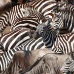 Herd of zebras (African Equids) and Blue Wildebeest (Connochaete — Stock Photo