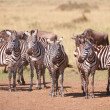 Herd of zebras (African Equids) and Blue Wildebeest (Connochaete - Stock Photo
