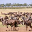 Herd of zebras (African Equids) and Blue Wildebeest (Connochaete — Stock Photo #6948542
