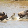 Crocodiles (Crocodylus niloticus) trying to grab Bluewildebeest — Stock Photo