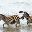 Two zebras (African Equids) — Stock Photo