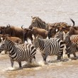 Herd of zebras (African Equids) and Blue Wildebeest (Connochaete — Foto de Stock
