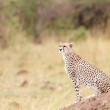 Постер, плакат: Cheetah Acinonyx jubatus sitting in savannah