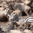 Herd of zebras (African Equids) and Blue Wildebeest (Connochaete — Stock Photo #6948579