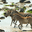 Three zebras (African Equids) — Stock Photo