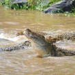 Crocodiles (Crocodylus niloticus) — Stock Photo