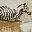 Single zebra (African Equids) — Stock Photo