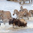 Herd of zebras (African Equids) and Blue Wildebeest (Connochaete — Foto de Stock   #6948594