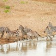 Herd of zebras (African Equids) — Stock Photo