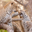 Постер, плакат: Two Leopards playing on the tree