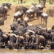 Herd of zebras (African Equids) and Blue Wildebeest (Connochaete — Foto de Stock   #6948624