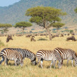 Stock Photo: Herd of zebras (AfricEquids) and Blue Wildebeest (Connochaete