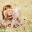 Single male Lion (panthera leo) in savannah — Stock Photo
