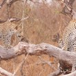 Постер, плакат: Three Leopards resting on the tree