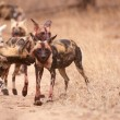 Stock Photo: Pack of AfricWild Dogs (Lycaon pictus)