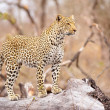Stock Photo: Leopard standing on tree