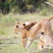 Lion cubs (panthera leo) with their mother — Stock Photo