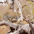 Постер, плакат: Two Leopards standing on the tree