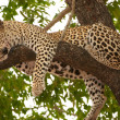 Royalty-Free Stock Photo: Leopard sleeping on the tree