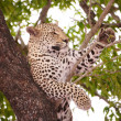 Stock Photo: Leopard lying on tree