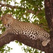 Stock Photo: Leopard (Pantherpardus) lying on tree