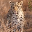 Stock Photo: Leopard standing in savannah