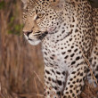 Leopard sitting alert in savannah — Stock fotografie